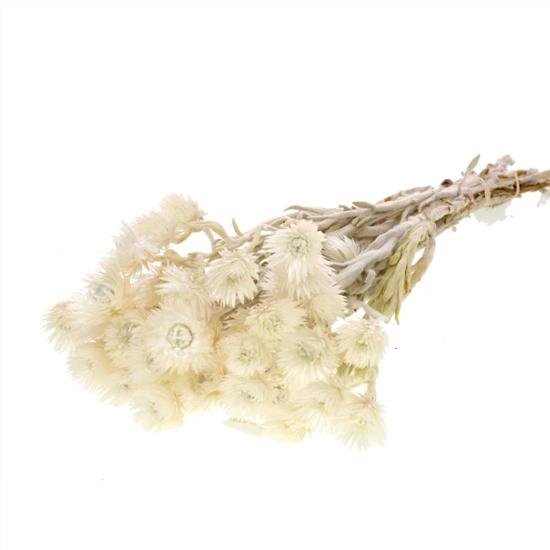Helicrysium
