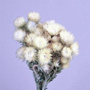Helicrysium2 1